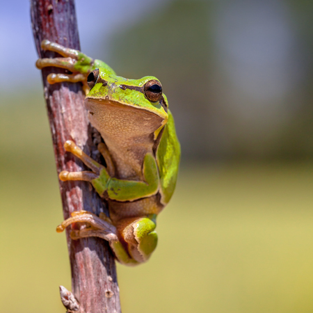 European tree frog (Hyla arborea) climbing in a tree and watching the spectator with blurred background Stock Photo