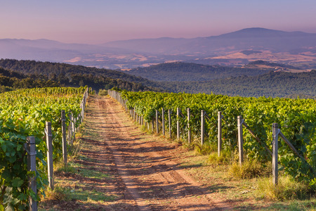 sauvignon blanc: Dirt road through Chianti Vineyard in the Tuscan Hills on a Summer Morning, Italy Stock Photo