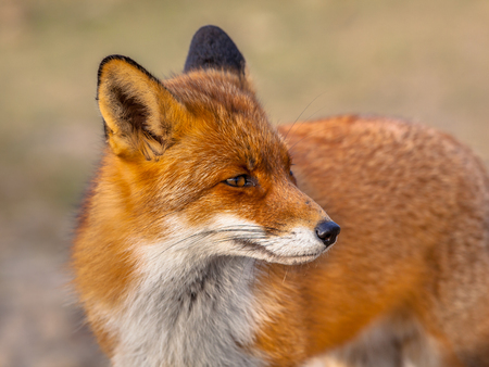 A full resolution portrait of a  red fox (Vulpes vulpes) looking backward in natural environment. The beautiful wild animal of the wilderness. Shred looking in the camera. Eye to eye with a dodgy vulpine. One of the most grace wood inhabitants