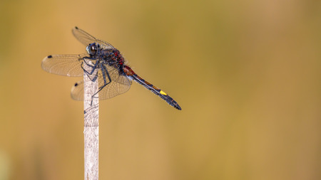 inhabits: Large white-faced darter or yellow-spotted whiteface (Leucorrhinia pectoralis) dragonfly inhabits marshy borders and prefers less acidic waters than its close relative darters. It occurs from Europe to siberia.