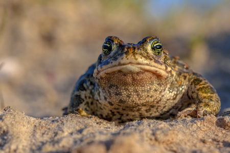 Frontal view of a Natterjack toad (Epidalea calamita) in natural sandy habitat. With blue sky and shallow DOF Stock Photo