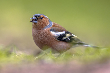 northwest africa: Common Chaffinch (Fringilla coelebs) in grass of lawn in an ecological garden. The chaffinch breeds in much of Europe, across Asia to Siberia and in northwest Africa. Stock Photo