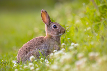 leporidae: European Wild rabbit (Oryctolagus cuniculus) in lovely green vegetation surroundings with white flowers Stock Photo