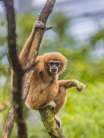 Lar gibbon (Hylobates lar), also known as the white-handed gibbon perched on branch in rainforest jungle Stock Photo