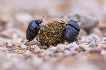 Two dung beetles drudging to roll a ball through gravel 스톡 콘텐츠