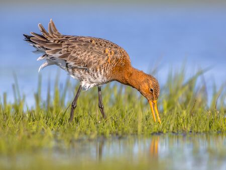 Close up of Black-tailed Godwit (Limosa limosa) foraging in shallow water of a wetland. Marshlands are used as layovers during migration.