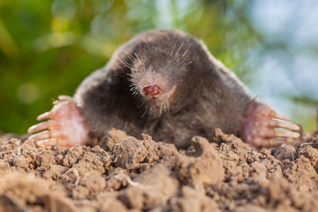 Portrait of European mole or Common Mole (Talpa europaea) This is a mammal of the order Soricomorpha and very common in Europe.