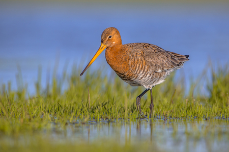 Black tailed Godwit  (Limosa limosa) wading through shallow water of a wetland. Its breeding range stretches from Iceland through Europe and areas of central Asia. Stock Photo