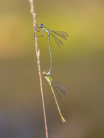 damsel: Small emerald spreadwing dragonfly (Lestes virens) pair mating in tandem position