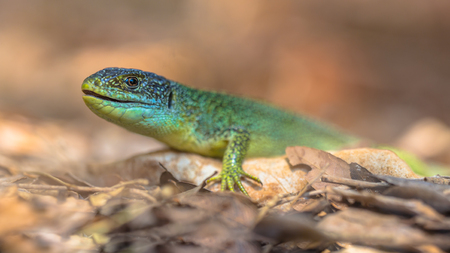European Green Lizard (Lacerta viridis) resting on a rock among leaves with blurred background