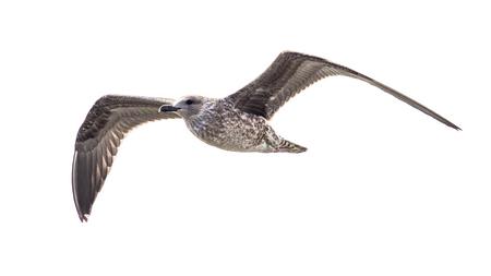 Juvenile Herring gull (Larus argentatus) in flight on white background