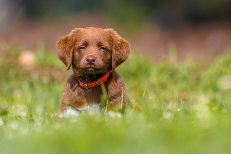 Lovely brown puppy playing in grass in a backyard lawn