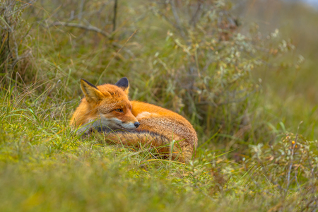 European red fox (Vulpes vulpes) resting in grass. Red Foxes are adaptable and opportunistic omnivores and are capable of successfully occupying urban areas.