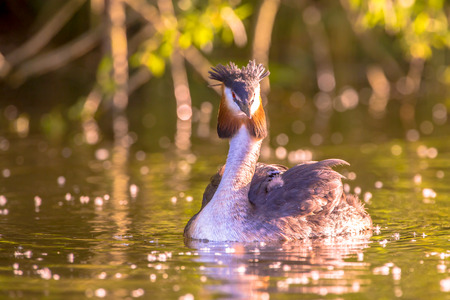 Great Crested Grebe (Podiceps cristatus) floating in water with chicks on her back under beautiful sunset reflections Stock Photo