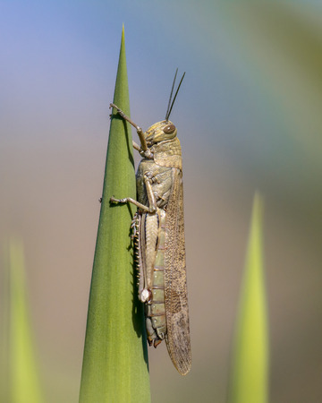 Migratory locust (Locusta migratoria) perched on green plant. This insect can be a real plague and can cause famine