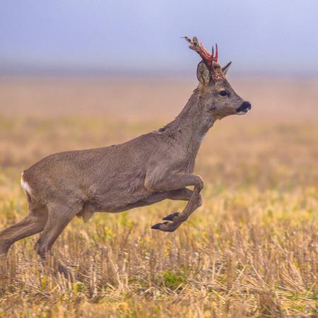 Riethert (Capreolus capreolus) springt door grasland en vlucht van gevaar Stockfoto - 81793211