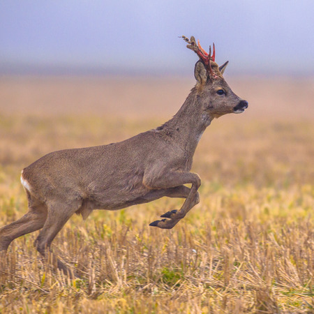 Roe deer (Capreolus capreolus) jumping through grassland and fleeing from danger Stock Photo