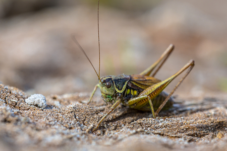 Roesels bush-cricket (Metrioptera roeselii) in natural environment. This is a European bush-cricket, named after a German entomologist.