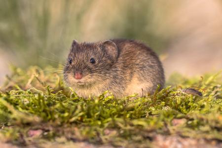 銀行 vole (Myodes glareolus; 以前エゾヤチネズミ glareolus)。自然環境を見る赤茶色の毛皮で小さなネズミ
