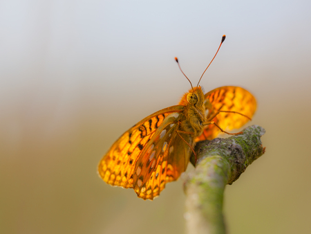 The Dark Green Fritillary Butterfly prefers pastures and flowery banks