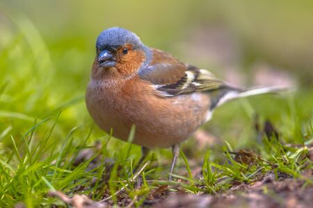 Common Chaffinch (Fringilla coelebs) on lawn of an ecological garden looking. The chaffinch breeds in much of Europe, across Asia to Siberia and in northwest Africa.