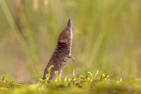 Eurasian pygmy shrew (Sorex minutus) snuiven en kijken in een natuurlijke omgeving