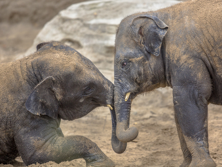 romp: Two young Indian elephants (Elephas maximus indicus) romping in sand