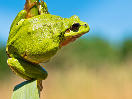 European Tree Frog (Hyla arborea) climbing in a Twig of Reed in its Natural Habitat