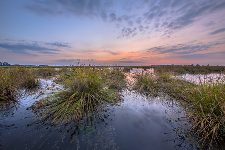 swampy: Large clumps of Soft rush (Juncus effusus) growing in reflecting water of Peizermaden Wetland water management area under pastel sunset near Groningen, Netherlands