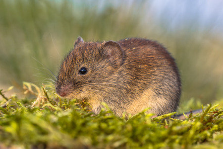 Wild Bank vole (Myodes glareolus; formerly Clethrionomys glareolus). Small vole with red-brown fur in natural grass field