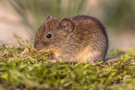Bank vole (Myodes glareolus; formerly Clethrionomys glareolus). Small vole with red-brown fur on forest floor in natural environment
