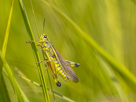 Large marsh grasshopper (Stethophyma grossum). A threatened insect species typical for marshland and swamp habitats