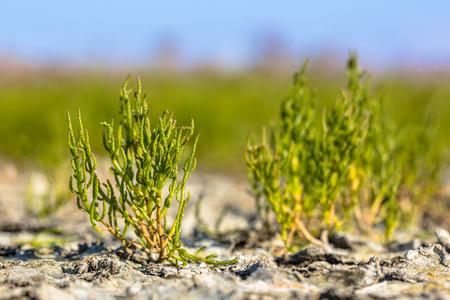 Edible Common glassworth (Salicornia europaea) on saltmarsh in the dutch Wadden sea Stock Photo