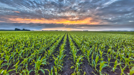 Corn field under setting sun with beautiful clouded sky