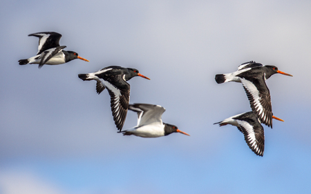 Flying group of Eurasian oystercatcher (Haematopus ostralegus) also known as the common pied oystercatcher, or palaearctic oystercatcher