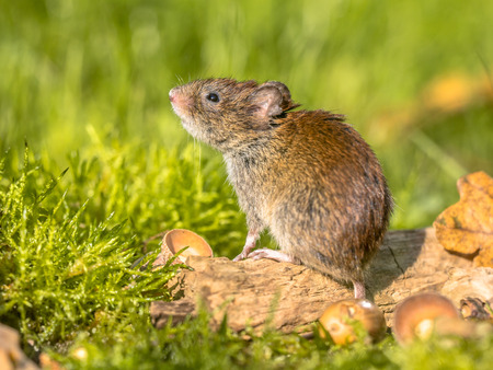 Wild Bank vole (Myodes glareolus) mouse posing on log on autumn scene forest floor with dead leaves and acorns Stock Photo