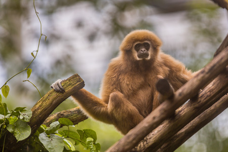 Lar gibbon (Hylobates lar), also known as the white-handed gibbon sitting on branch in natural environment