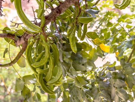 Carob tree (Ceratonia siliqua) fresh fruit growing on tree