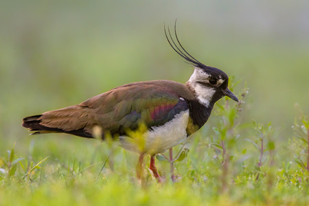Male Northern lapwing (Vanellus vanellus) in marshland habitat with fresh green background. This bird is iconic for the dutch countryside.