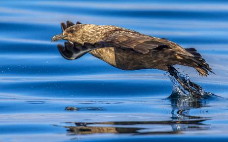 Great Skua (Stercorarius skua) flying up from the water around Runde island Norway
