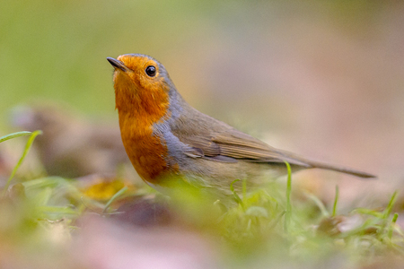 European red Robin (Erithacus rubecula) in garden lawn with autumnal colors