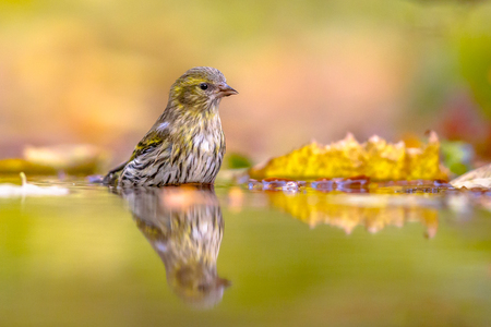Eurasian siskin (Spinus spinus) washing in water with autumnal colored leaves background