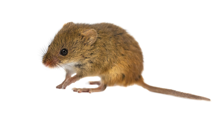 Curious young Harvest Mouse  (Micromys minutus)  with cute brown eyes walking on white background, studio shot