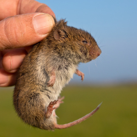 Field vole (Microtus agrestis) kept in hand by researcher during survey Stock Photo