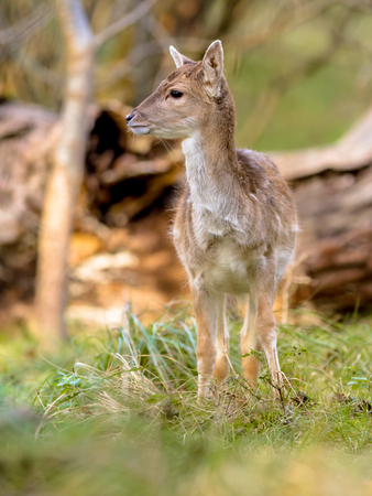 Fallow deer calf (Dama dama) looking around in an autumn colored forest