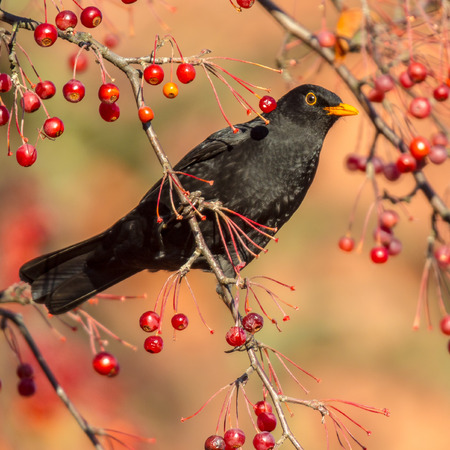 Male European Blackbird (Turdus merula) looking and feeding on berries in tree