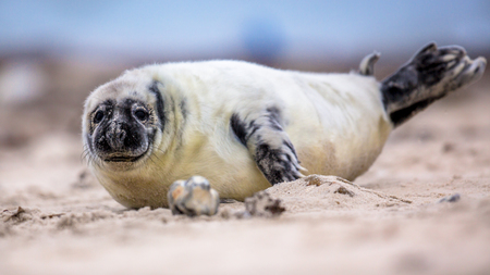 baby Common seal (Phoca vitulina) one animal looking curious in camera while lying on beach with ocean in background Stock Photo