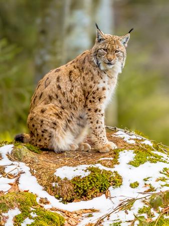 Le lynx eurasien (Lynx lynx) de taille moyenne est originaire de Sibérie, d'Asie centrale, orientale et méridionale, d'Europe du Nord, centrale et orientale. Se reposer dans un paysage d'hiver et regarder de côté