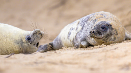brincando: two juvenile Common seal (Phoca vitulina) one animal looking curious in camera while lying on beach