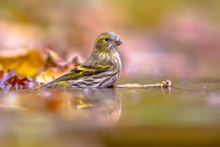 Eurasian siskin (Spinus spinus) washing in water in autumnal colors of colored leaves Banco de Imagens - 89439015